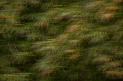 blurred maple leaves
